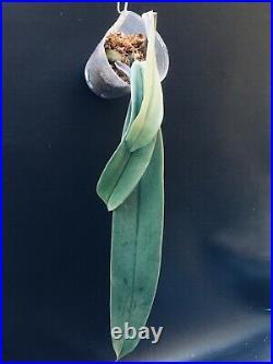 Bulbophyllum Orthosepalum Orchid Very Rare Species Large Plant 23