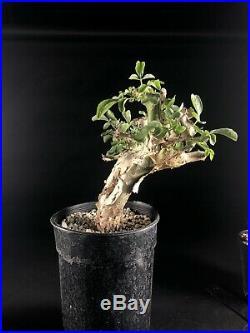 Commiphora holtziana/logologo Large, Very Rare, caudex, Bursera