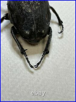 Fornasinius higginsi, large male, Cetoniidae, Goliath beetle, Very Rare