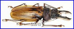 Macrodontia antonkozlovi (large male, 78 mm), very rare Cerambycidae from Peru