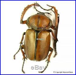 Propomacrus davidi fujianersis male, very rare, large 45mm, Wild