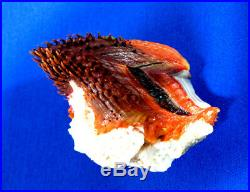 Seashells, very rare large Spondylus fauroti, Spondylus Smyteae, Sinai